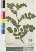 http://bibliotheque-virtuelle.clermont-universite.fr/files/fichiers_bcu/Astragalus_glycyphyllos_MTLUCO0328.jpg