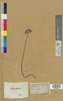 http://bibliotheque-virtuelle.clermont-universite.fr/files/fichiers_bcu/Sedum_acre_MTLUCO0426.jpg