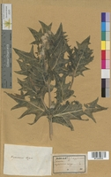 http://bibliotheque-virtuelle.clermont-universite.fr/files/fichiers_bcu/Nicotiana_tabacum_MTLUCO0508.jpg
