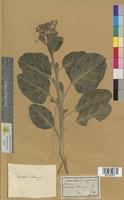 http://bibliotheque-virtuelle.clermont-universite.fr/files/fichiers_bcu/Solanum_lycopersicum_MTLUCO0509.jpg