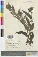 http://bibliotheque-virtuelle.clermont-universite.fr/files/fichiers_bcu/Centaurea_cyanus_MTLUCO0638.jpg
