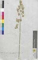 Dactylis glomerata (Poaceae)