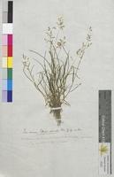 Poa annua (Poaceae)