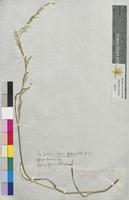 Poa fluitans (Poaceae)