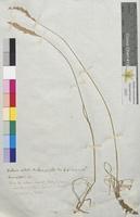 Koeleria cristata (Poaceae)