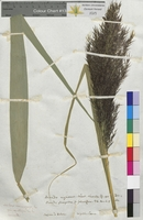 Arundo nigricans (Poaceae)
