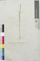 Lolium tenue (Poaceae)