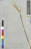 Hordeum distichon (Poaceae)