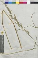 Festuca arundinacea (Poaceae)