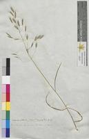 Bromus pratensis (Poaceae)