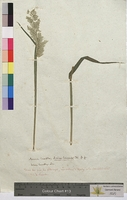 Avena lanata (Poaceae)