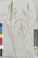 Aira cespitosa (Poaceae)