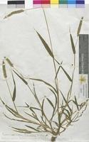 Panicum verticillatum (Poaceae)