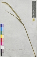 Phleum pratense (Poaceae)