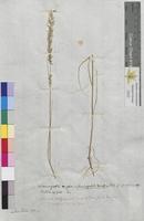 Calamagrostis epigeios (Poaceae)