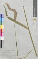 Calamagrostis colorata (Poaceae)