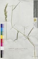 Agrostis alba (Poaceae)