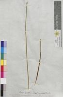 Scirpus palustris (Cyperaceae)