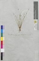 Scirpus setaceus (Cyperaceae)