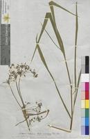 Scirpus mariscus (Cyperaceae)