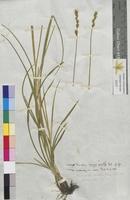 Carex divulsa (Cyperaceae)