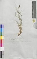 Carex hirta (Cyperaceae)