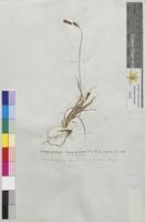 Carex praecox (Cyperaceae)