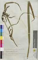 Sparganium ramosum (Sparganiaceae)