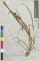 Sparganium simplex (Sparganiaceae)