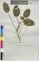 Potamogeton natans (Potamogetonaceae)