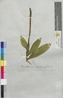 Potamogeton lucens (Potamogetonaceae)