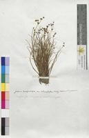 Juncus lamprocarpus (Juncaceae)