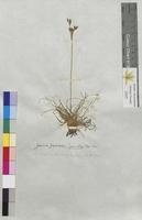 Juncus squarrosus (Juncaceae)