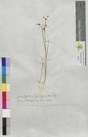 Juncus sylvaticus (Juncaceae)
