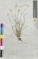 Luzula vernalis (Juncaceae)