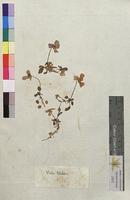 http://bibliotheque-virtuelle.clermont-universite.fr/files/fichiers_bcu/Viola_tricolor_PUY001091.jpg
