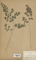 https://bibliotheque-virtuelle.bu.uca.fr/files/fichiers_bcu/Pteridaceae_Adiantum_capillus_CLF120040.jpg