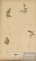 https://bibliotheque-virtuelle.bu.uca.fr/files/fichiers_bcu/Polypodiaceae_Allosorus_crispus_CLF120047.jpg