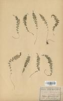 Asplenium lanceolatum (Aspleniaceae)