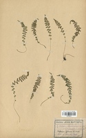 https://bibliotheque-virtuelle.bu.uca.fr/files/fichiers_bcu/Aspleniaceae_Asplenium_lanceolatum_CLF120111.jpg