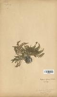 Asplenium fontanum (Aspleniaceae)