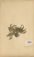 https://bibliotheque-virtuelle.bu.uca.fr/files/fichiers_bcu/Aspleniaceae_Asplenium_fontanum_CLF120112.jpg