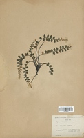 Asplenium marinum (Aspleniaceae)