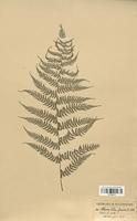 Athyrium felix femina (Woodsiaceae)