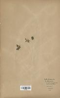 Azolla filiculoides (Azollaceae)