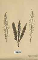 Blechnum spicant (Blechnaceae)