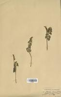 Botrychuim lunaria (Ophioglossaceae)