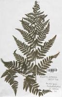 Dryopteris carthusiana (Dryopteridaceae)
