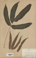 Dryopteris sieboldii (Dryopteridaceae)
