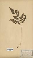Dryopteris robertiana (Dryopteridaceae)